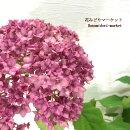 ガーデンアジサイベラアナ(PIIHA-1)5号ポット苗ピンクアナベルイングリッシュガーデン庭木あじさい赤