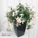 観葉植物ハツユキカズラ6号黒角型ポット【カラーリーフ】