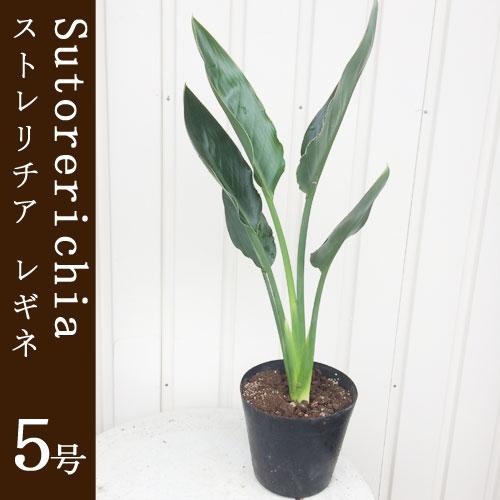 観葉植物 ストレリチア レギネ  5号鉢 インテリアグリーン インドアプランツ