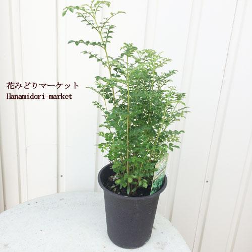 観葉植物 シマトネリコ  4号ポット 庭木 樹木苗 花木苗 鑑賞樹 インテリアグリーン