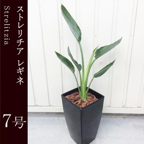 観葉植物 ストレリチア レギネ  7号鉢 インテリアグリーン インドアプランツ ストレチア【同梱不可・単品発送】