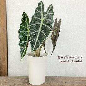 アロカシア アマゾニカ 5号鉢 観葉植物