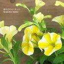 カリブラコアスーパーベルレモンスライス5号ポット苗PWプルーヴンウィナーズ鉢花イエローガーデン夏