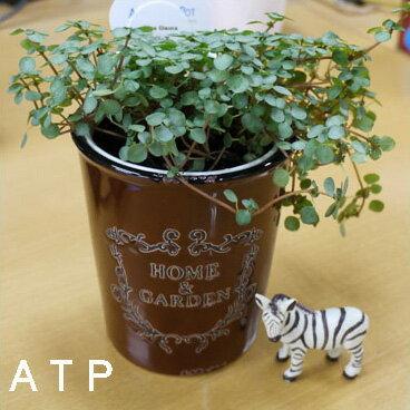 インテリアグリーン アクアテラポット ブロカント10.5タイプ 全10種 底面給水陶器鉢入り ギフト 観葉植物 シュガーバイン アイビー ペペロミア