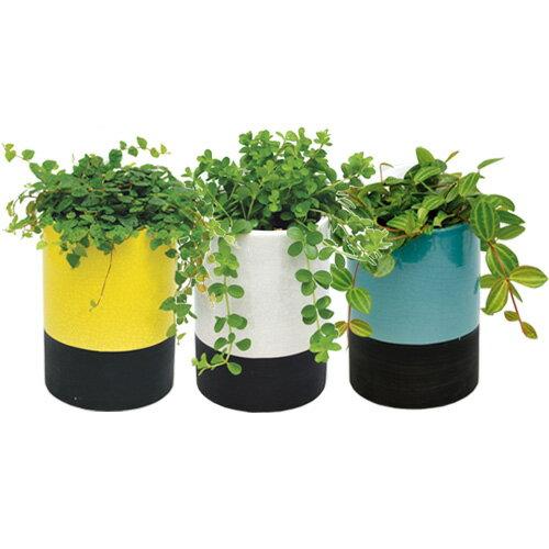 インテリアグリーン アクアテラポット メイズシリンダー10.5タイプ 全10種 底面給水陶器鉢入り ギフト 観葉植物 シュガーバイン アイビー ペペロミア