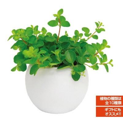 インテリアグリーン アクアテラポット ラウンド10.5タイプ 全10種 底面給水陶器鉢入り ギフト 観葉植物 シュガーバイン アイビー ペペロミア