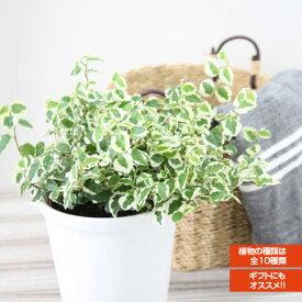 インテリアグリーン アクアテラポット ベーシック10.5タイプ 全10種 底面給水陶器鉢入り ギフト 観葉植物 シュガーバイン アイビー ペペロミア