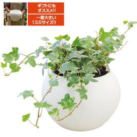 底面給水陶器鉢入り観葉植物 アクアテラポット ラウンド 13.5タイプ インテリアグリーン全3種 シュガーバイン アイビー