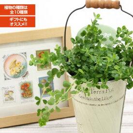 アクアテラポット ブリキ10.5タイプ(アイボリー) 観葉植物全10種  シュガーバイン アイビー ペペロミア他