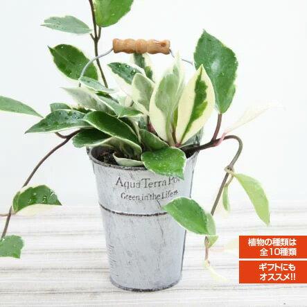 インテリアグリーン アクアテラポット ブリキ10.5タイプ(シルバー)  全10種 底面給水ブリキ鉢入り 観葉植物 シュガーバイン アイビー ペペロミア
