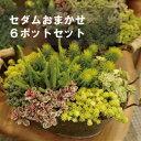 【6個セット】 セダム 品種おまかせ 2.5〜3号ポット 計6ポット耐寒性多肉植物