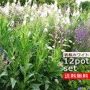 【送料無料】【12種セット】ホワイトガーデン宿根草苗セット 12種 計12ポットセット 安心の育て方メモ付き