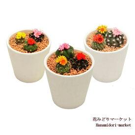 花咲きミニサボテン 多肉植物寄せ植え 2.5号ポット インテリアグリーン