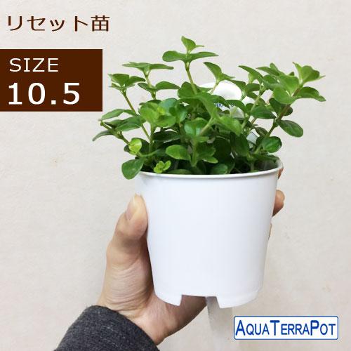 インテリアグリーン アクアテラポット リセット用苗10.5サイズ 全10種 ギフト 底面給水 観葉植物 シュガーバイン アイビー ペペロミア