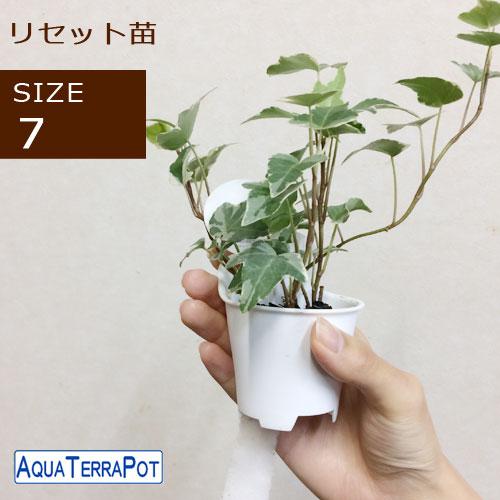 インテリアグリーン アクアテラポット リセット用苗 7サイズ ギフト 底面給水 観葉植物 シュガーバイン アイビー ペペロミア