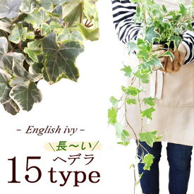 アイビー ヘデラ 長〜いタイプ (30〜60cm) 全15種類 3号ポット苗観葉植物 植物インテリア