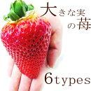 イチゴ苗大きい実になる品種3号ポット苗アイベリー・あかねっ娘・紅ほっぺ・もういっこ・おおきみ・ふさのか