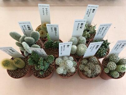 【3個セット】【多肉植物】 ミニサボテンおまかせ3ポットセット 2号ポット 観葉植物 サボテン  CACTUS カクタス
