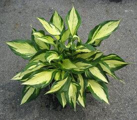 ホスタ レボリューション 3.5号ポット苗 (ギボウシ)イングリッシュガーデン 宿根草