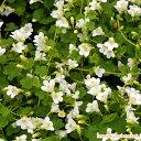 シンバラリア スノーホワイトアルビフローラ イングリッシュ ガーデン おすすめ グランド ガーデニング