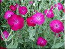 【イングリッシュガーデン】リクニスコロナリアアトロサンギネア3〜3,5号ポット苗ラベル苗宿根草