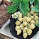 【イングリッシュガーデン】ワイルドストロベリー白雪姫3号ポットラベル苗白実イチゴ