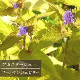 アガスターシェ ゴールデンジュビリー 3〜3.5号ポット苗 イングリッシュガーデン 宿根草