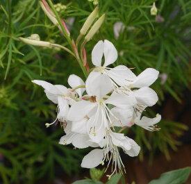 花苗 ガウラ(ハクチョウソウ) ホワイト 3.5号ポット 花色 白 ガーデニング 花苗 寄せ植え 宿根草 多年草 イングリッシュガーデン