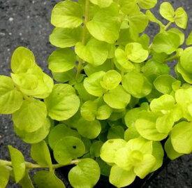 リシマキア ヌンムラリア オーレア 2.5〜3号ポット苗グランドカバー カラーリーフ 寄せ植え 宿根草 水辺