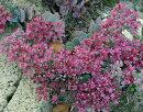【J】セダムカラスバミセバヤ3号ポット苗【カラーリーフ】【宿根草】【多肉植物】