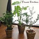 お得な【まとめ買い】観葉植物3鉢セットお買い得 選べる1万円鉢シリーズ 季節の花鉢シリーズ オリーブの木 モンステラ…