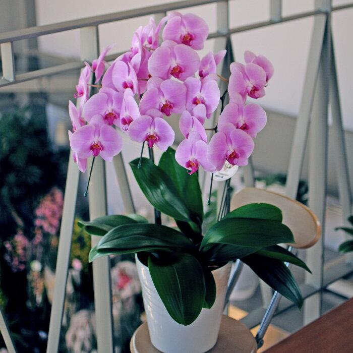 御祝の花 胡蝶蘭 3本立ち ピンク 開店 開業 祝い 花 ギフト