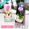 Mini Phalaenopsis gift box MIDI micro mini pink Phalaenopsis Orchid gift festive flower gift