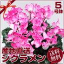 Sanchoku_pink