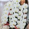 蝴蝶蘭開幕慶祝生日禮物慶祝開業慶典慶祝勝利蝴蝶蘭花 3 站 3 l 大花白色成立慶祝就職慶祝活動促進慶祝 kochourann 花卉盆栽雪絨花花禮品花丘比特商人