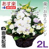 Condolence flowers same day Orchid offering flowers flower arrangements 2 L size next day delivery 12: offering flowers Buddhist pillow flower Memorial Service Memorial pet your offering offering flower arrangement condolences obit ninth flower Cupid Mem