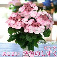 【送料無料】母の日ギフト花あじさい空色のしずくピンク5号鉢鉢植え鉢花紫陽花アジサイ2017母の日プレゼント贈り物フラワーflowergift