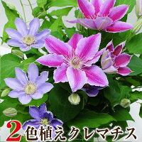 母の日ギフト2色植えクレマチス6号鉢花プレゼント鉢植えクレマチス母の日ギフト送料無料