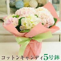 【送料無料】母の日ギフトあじさい紫陽花アジサイ_コットキャンディー