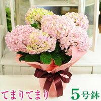 【送料無料】母の日ギフトあじさい紫陽花アジサイ_てまりてまり