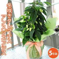 冬咲きクレマチス(常緑)アンスンエンシス7号鉢アンシュネンシス御歳暮贈り物年末新商品珍しい品種