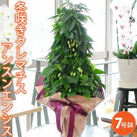冬咲きクレマチス(常緑)アンスンエンシス7号鉢アンシュネンシス