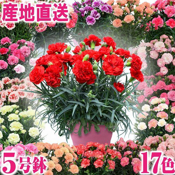 母の日 花 2019 ギフト プレゼント 鉢花 産地直送 カーネーション スタンダード17色 5号鉢 鉢植え 送料無料 花 贈る ギフト