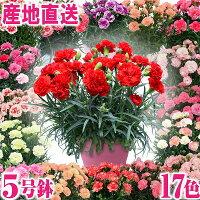 早割!母の日ギフトカーネーション花プレゼント鉢植え5号鉢産地直送カーネーション母の日ギフト2018送料無料