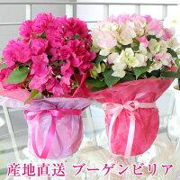 母の日ギフト送料無料母の日ブーゲンビリア鉢ブーゲンビレアプレゼント母の日鉢花フラワーギフトフラワ-flowergiftPRESENT