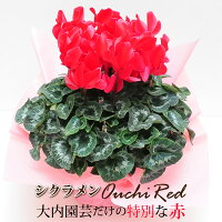 産地直送シクラメン大内レッド大内園芸だけの特別な赤6号鉢冬の贈り物