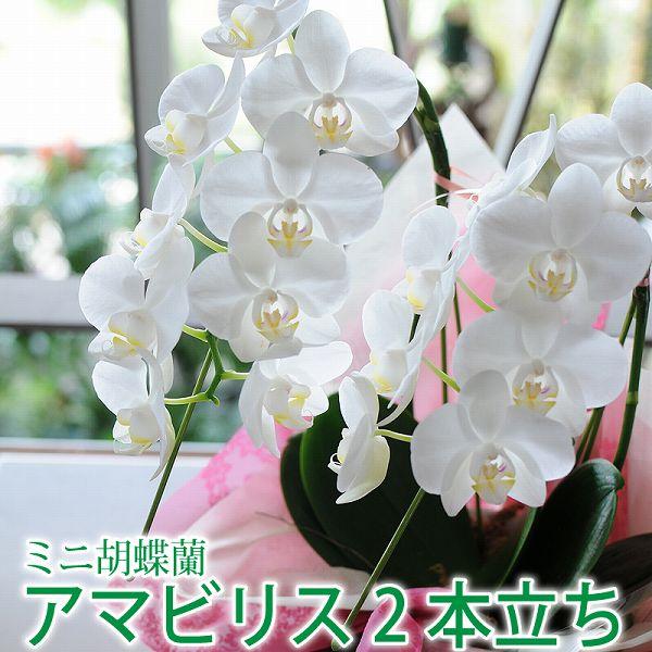 ミニ胡蝶蘭 ギフト プレゼント 開店祝い 花 アマビリス2本立ち 誕生日 移転祝 開業祝 昇進祝 楽屋見舞い 設立祝