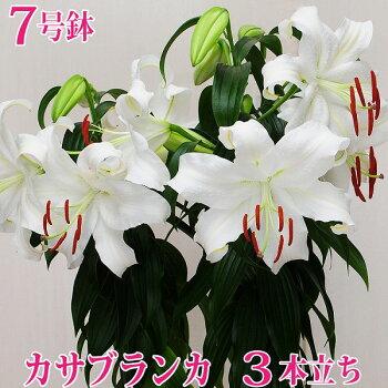花お中元夏サマーギフトゆりユリ百合カサブランカ鉢