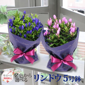 敬老の日 花 2色から選べる リンドウの鉢花 5号鉢 りんどう リンドウ 竜胆花 鉢花 ギフト プレゼント 送料無料 ブルー ピンク 敬老の日