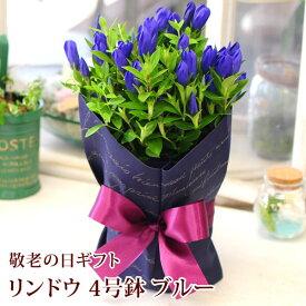 敬老の日 花 プレゼント 送料無料 ギフト リンドウ 鉢植え 花鉢 生花 鉢花 2020 フラワーギフト 青 4号鉢 竜胆 りんどう